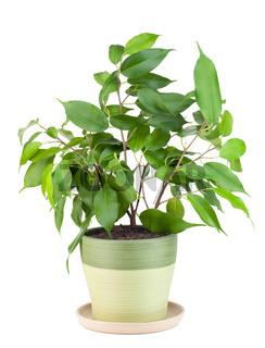 Sapling a favourite indoor plant 'Ficus'