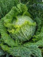 Wirsing, Brassica oleracea var sabauda, Kohl