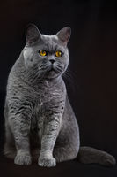 Funny thick gray British domestic cat sits on a black background