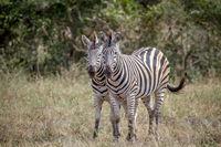 Two Zebras bonding together in Kruger.
