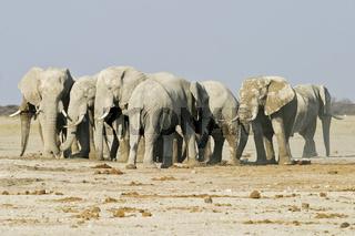 Afrikanische Elefanten (Loxodonta africana) am Wasserloch, Nxai Pan, Makgadikgadi-Pans-Nationalpark, Botsuana, Afrika, African Elephants at a waterhole, Makgadikgadi Pans NP, Botswana, Africa