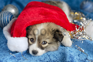 Little puppy lying on a blue background. In the red Santa hat, selective focus.