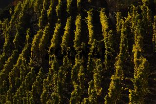 Weinstöcke in der Herbstsonne