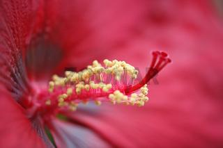 Hibiskus, rot, Hibiscus syriacus, Rose of Sharon,Tessin, red