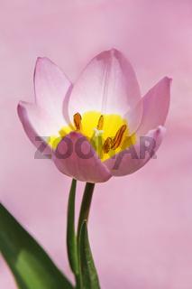 Felsen-Tulpe, Tulip