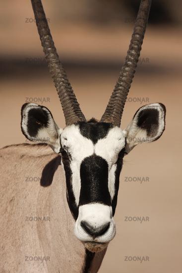 Gemsbok - Portrait - Kalahari-South Africa