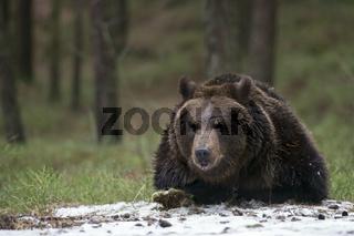 ohhhh... Europäischer Braunbär *Ursus arctos* untersucht neugierig ein paar Schneereste