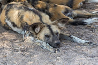 A pack of wild dogs in the Kruger National Park South Africa