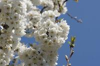 20180417_Prunus avium, Süßkirsche, Sweet Cherry011Biene.jpg