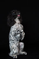 Beautiful female spaniel sits on its hind legs on black background