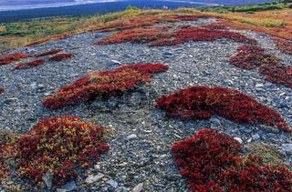 Tundralandschaft mit Alpenbaerentrauben im Herbst / Denali Nationalpark  -  Alaska
