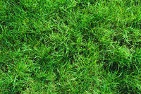 Close-up of uncultivated wild green lawn. View from above. Green juicy grass background for spring and summer