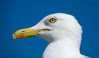 big seagull close up portrait