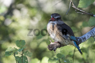 Braunkopfliest (Halcyon albiventris), Hluhluwe-Imfolozi Park,