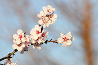 colorful flowers of japanese cherry tree over blue sky background