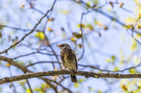 Fieldfare sitting on a tree branch and looking