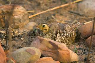 Painted Sandgrouse, Pterocles indicus, Panna Tiger Reserve, Rajasthan