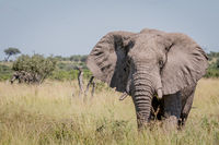 Elephant standing in high grass.