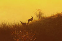 roe deers in orange light of dawn ( Capreolus