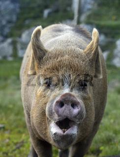 Berkshire Schwein, Schottland, Großbritannien