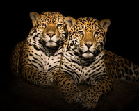 Jaguar Pair V