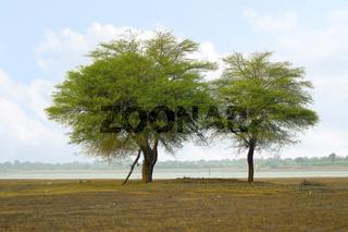 Two trees at the shore near Veer dam, Maharashtra