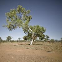 Eukalyptusbaum