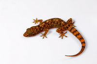 Leaf toed gecko, Hemidactylus parvimaculatus, Udanti Tiger Reserve, Chhattisgarh