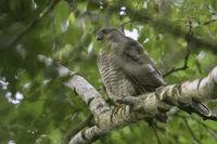 hoch oben im Baum... Sperber *Accipiter nisus*