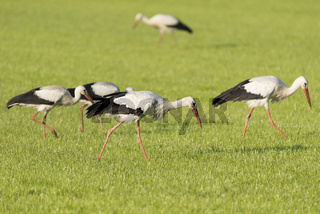 White Storks in a newly mowed meadow