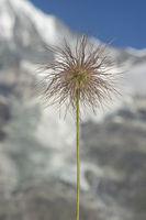 Alpen-Kuhschelle (Pulsatilla alpina) kurz vor der Reife der federschweifigen Früchte (Achänen)