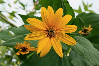 gelbe Blüte, Topinambur weit offen