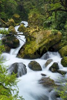 Wildwasser Fluss, tosende Wassermassen eines wilden Gebirgsflusses rauschen ueber moosbewachsene  Felsen inmitten eines ueppigen, urspruenglichen gemaessigten Regenwaldes, der dick mit Flechten behangen ist, Fjordland Nationalpark, Suedinsel, Neuseeland W