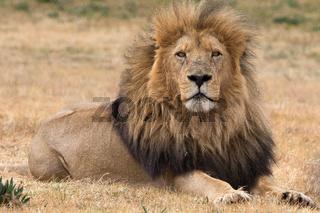 beautiful lion kruger national park South Africa