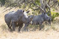 female and cub northern white rhino in the Ugandan bush