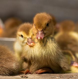 Musk duck ducklings
