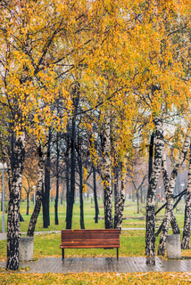 Autumn yellow tree birch grove among orange grass in the park with bench