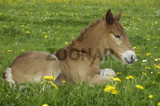 Sueddeutsche Kaltblutpferde, Fohlen, Equus ferus caballus, South German Draught Horse, foal