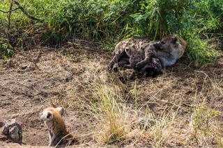 Spotted hyena feeding her milk your puppy
