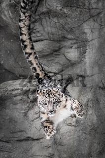 Snow Leopard Wall Bounce