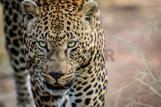 Close up of a big male Leopard head.