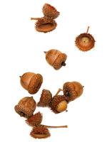 Autumn dry oak acorns on white