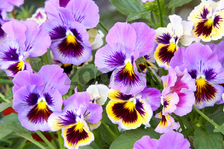 Blue and yellow pansy (viola)