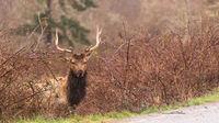 Male Elk Weathering the Rain Northern California