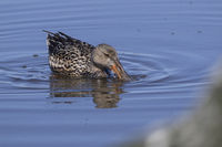 female Shoveler that swims and feeds on a small puddle on a sunny spring day