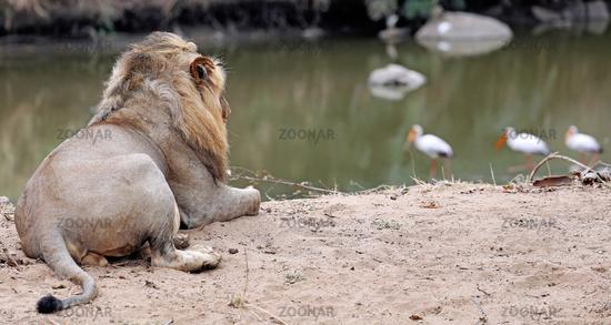 Löwe beachtet Vögel am Fluss, Südafrika, lion watching birds at a river, South Africa