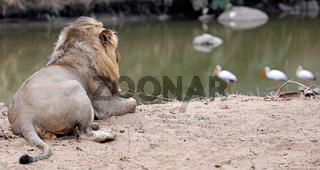 Löwe beachtet Vögel am Fluss, Südafrika, lion watching birds at a river, South Africa