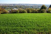 Trifolium pratense, Rotklee, red clover