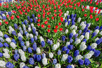 Flowers field with red white blue tulips and hyacinths