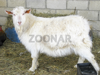Goats in the household. Mini goat farm.